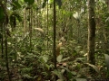 4. Interiér primárního nížinného lesa; poblíž vesnice Breu, Ucayali, Peru (LH).