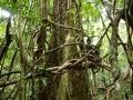 1. Strom obrostlý liánami (LB).