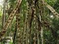 "3. Liána bauhínie ""opičí žebřík"" Bauhinia sp. bobovité (Fabaceae), angl. Monkey ladder, šp. Escalera de mono (LB)."