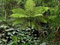 15. Stromová kapradina, cyateotvaré (Cyatheales), angl. Tree ferns, šp. Helechos arborescentes (LB).