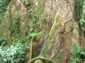 3. Pilířovité kořeny (pilíře) zástupce rodu silovoň, Dipteryx sp., bobovité (Fabaceae), angl. Cumarú, Brazilian teak, šp. Shihuahuaco (JL).