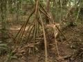 """4. Chůdovité kořeny """"chodící palmy"""" sokratea, Socratea sp., arekovité (Arecaceae), angl. Walking Palm, šp. Cashapona (LH)."""