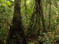 """5. Chůdovité kořeny """"chodící palmy"""" rozkročeň, Iriartea sp., arekovité (Arecaceae), šp. Huacrapona (LH)."""