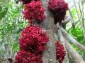 10. Kauliflorie zástupce rodu Theobroma, slézovité (Malvaceae), šp. Cacahuillo (JL).