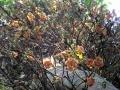 11. Kauliflorie druhu lončatník guyanský, Couroupita guianensis Aubl., hrnečníkovité (Lecythidaceae), angl. Cannonball tree, šp. Ayahuma (JL).