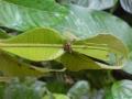 15. Mravenci na nektariích druhu inga jedlá, Inga edulis Mart., bobovité (Fabaceae), angl. Ice-cream-bean, šp. Guaba (AR).