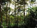 1. Agrolesnické pěstování druhu Calycophyllum spruceanum (Benth.) Hook.f. ex K.Schum., mořenovité (Rubiaceae), šp. Capirona a palmy moukeň ztepilá, Bactris gasipaes Kunth., angl. Peach palm, šp. Pijuayo, arekovité (Arecaceae); pokusné plantáže Světového agrolesnického centra – World Agroforestry Centre; poblíž vesnice San Alejandro, Ucayali, Peru (LH).