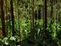 2. Agrolesnické pěstování druhu Calycophyllum spruceanum (Benth.) Hook.f. ex K.Schum., mořenovité (Rubiaceae), šp. Capirona a palmy moukeň ztepilá, Bactris gasipaes Kunth., angl. Peach palm, šp. Pijuayo, arekovité (Arecaceae); pokusné plantáže Světového agrolesnického centra – World Agroforestry Centre; poblíž vesnice San Alejandro, Ucayali, Peru (LH).