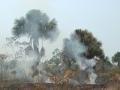2. Mauricie převislá v uměle založeném požáru, Ucayali, Peru; Mauritia flexuosa L., šp. Aquaje (LH).