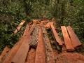 1. Selektivní těžba vzácného červeného dřeva druhu česnekovník vonný, které bývá zpracováváno přímo v lese; Cedrela odorata L., zederachovité (Meliaceae), angl. Red/Spanish Cedar, šp. Cedro; poblíž vesnice Breu na řece Yuruá, Ucayali, Peru (LH).