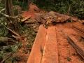 2. Selektivní těžba vzácného červeného dřeva druhu česnekovník vonný, které bývá zpracováváno přímo v lese; Cedrela odorata L., zederachovité (Meliaceae), angl. Red/Spanish Cedar, šp. Cedro; poblíž vesnice Breu na řece Yuruá, Ucayali, Peru (LH).