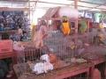 1. Ilegální prodej týraných zvířat na trhu Bellavista ve městě Pucallpa, Ucayali, Peru (JL).