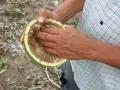 HUINGO Crescentia cujete L. (Bignoniaceae)