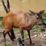Mazama červený Red brocked deer Venado colorado Mazama americana (Erxleben, 1777) jelenovití Cervidae LB